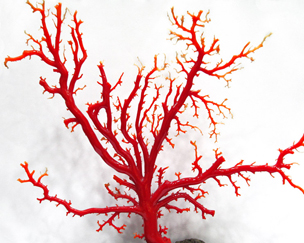 珊瑚(サンゴ)